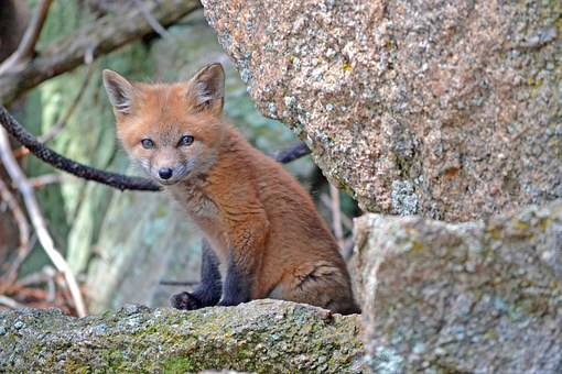 fox-1031693__340