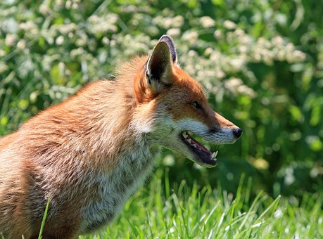 fox-275958__340