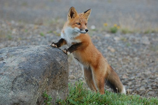 fox-935210__340