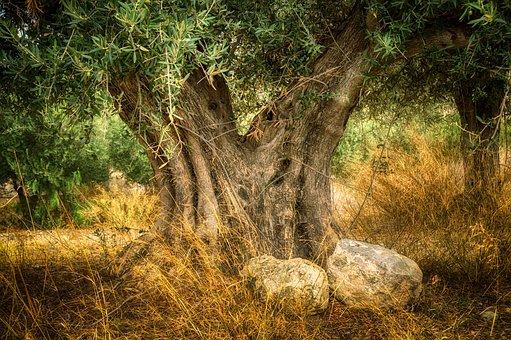 olive-3687482__340