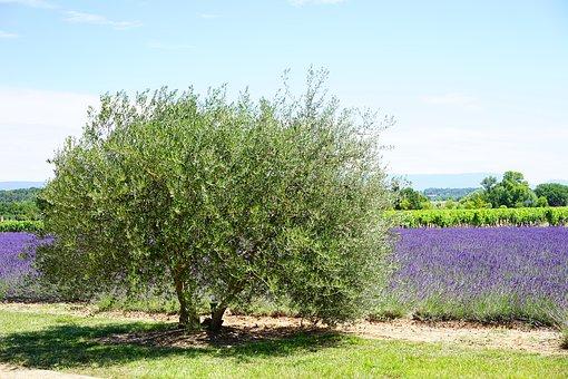 Young Olive Tree|نهالزیتون