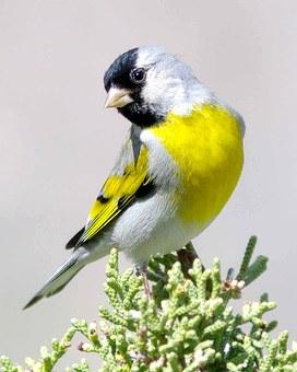 goldfinch-1448542__340
