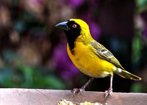 yellow-finch-1842041__340