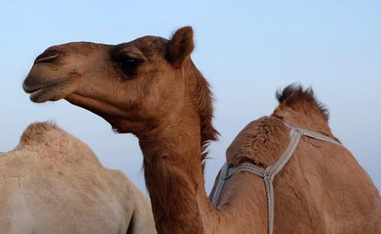 camel-339778__340