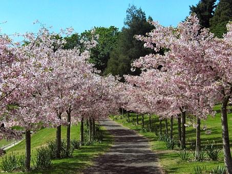 cherry-blossom-1166835__340