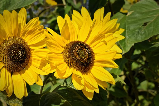 sunflower-4493544__340