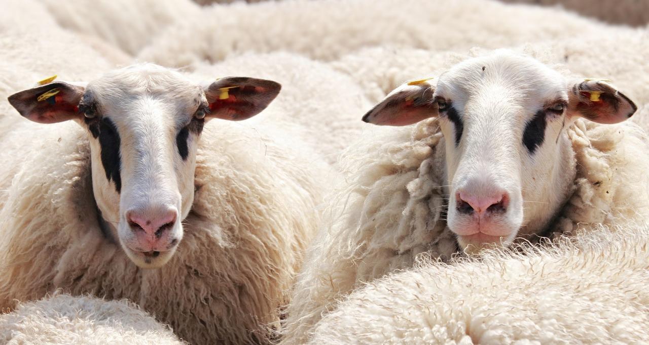 sheep-2292802_1920