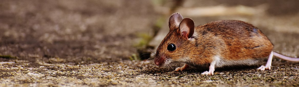 mouse-1708379__340