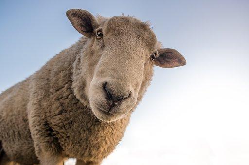 sheep-1822137__340