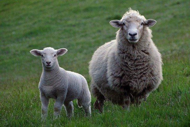 sheep-2625347_640