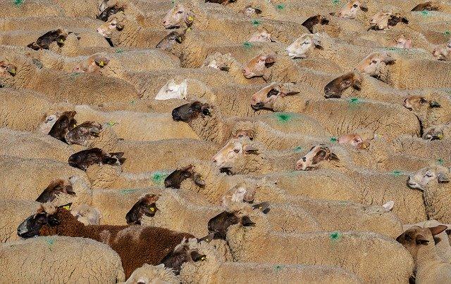 sheep-3379578_640