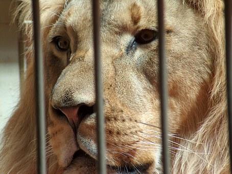 lion-624457__340
