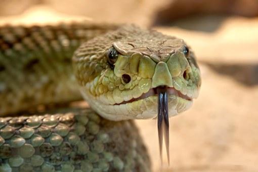rattlesnake-653642__340