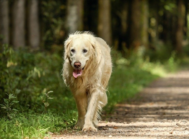 The Old Dog|سگپیر